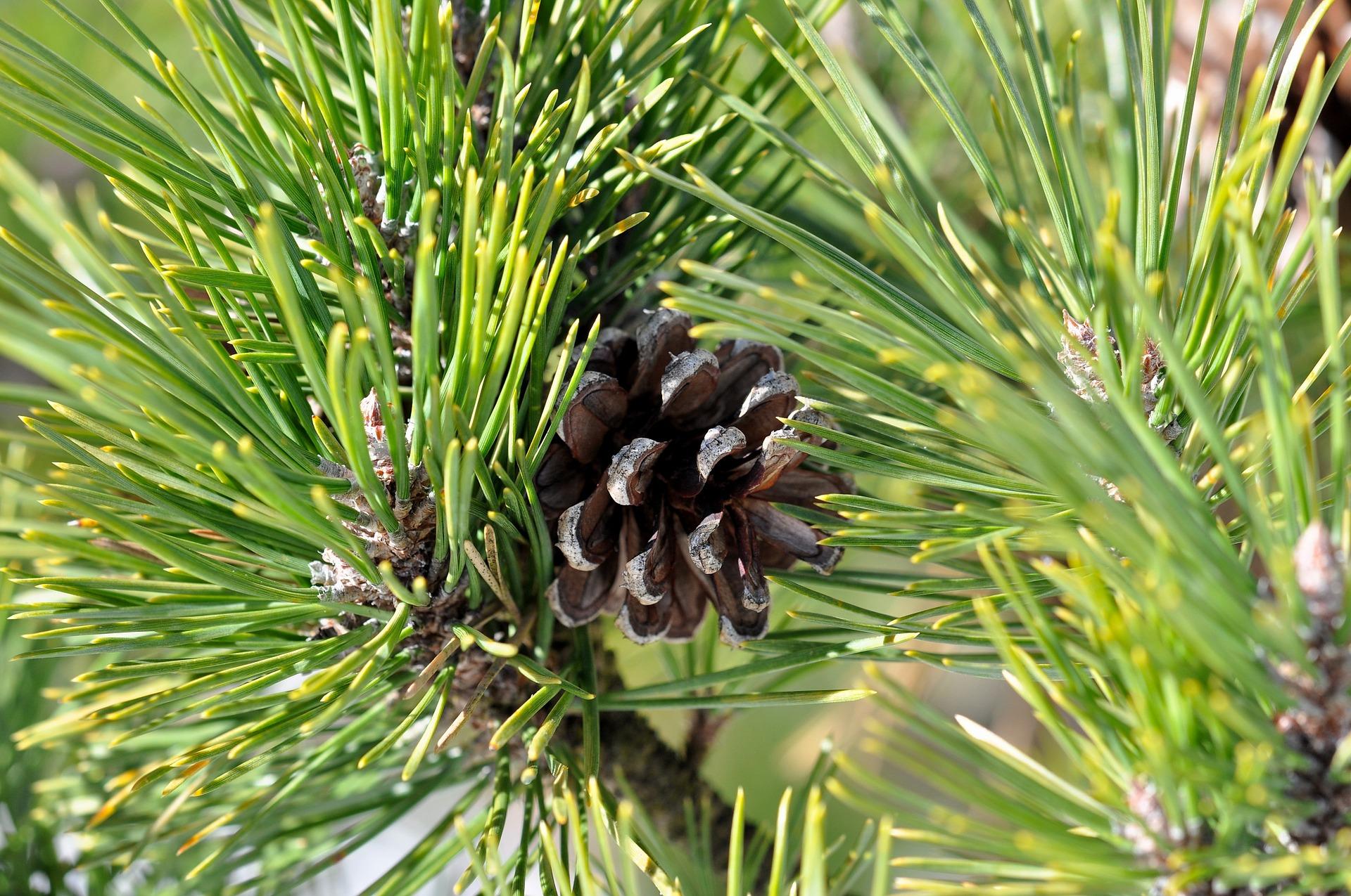 pine-635392_1920