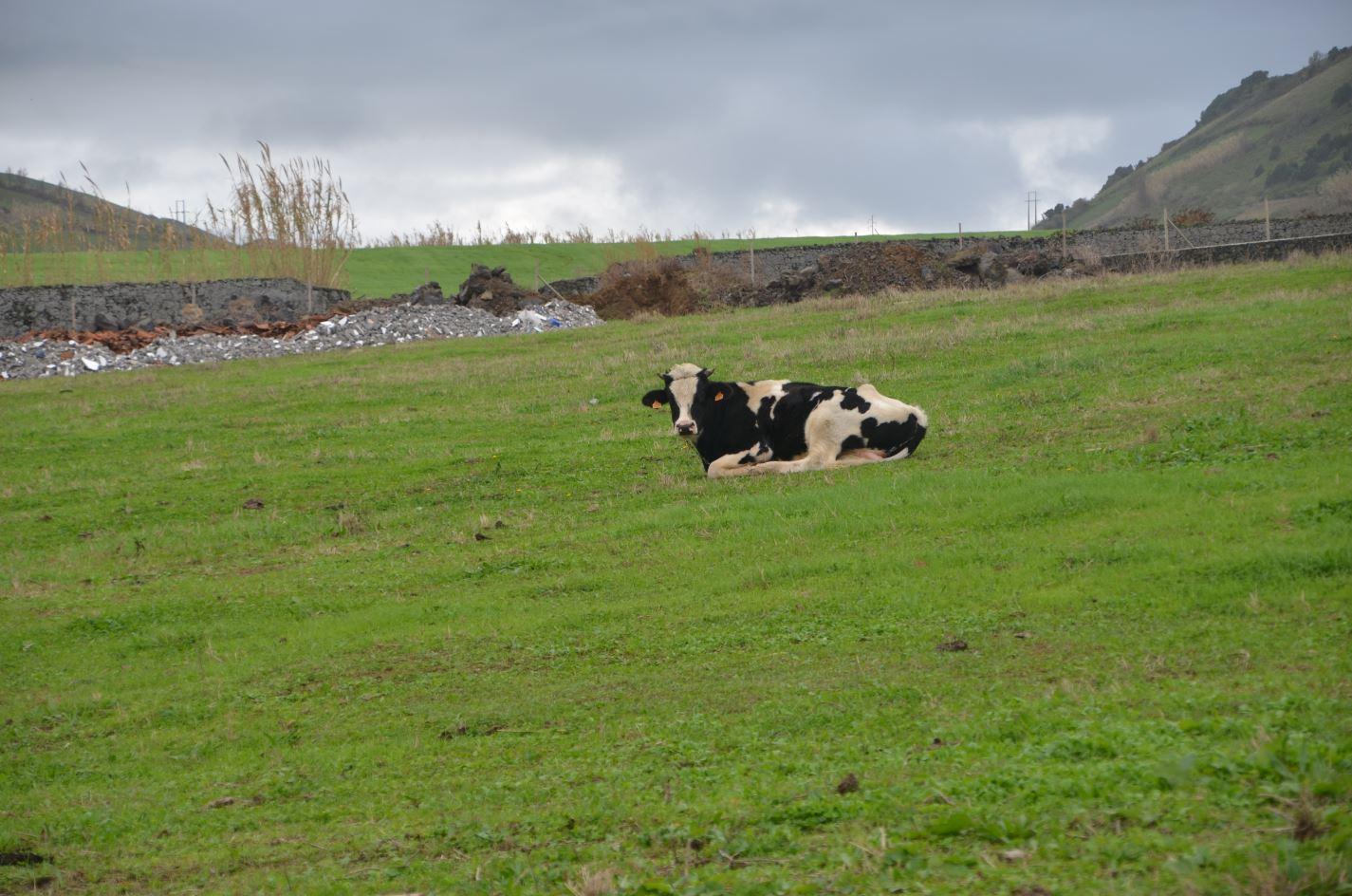 vaca açores